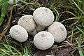 Common Puffball (36352937694).jpg