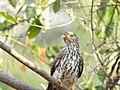 Common hawk cuckoo (Hierococcyx varius) 9.jpg