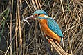 Common kingfisher (Alcedo atthis bengalensis) with fish.jpg