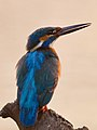Common kingfisher at dawn.jpg