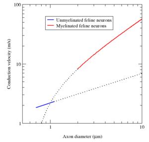 Un gráfico log-log de la velocidad de conducción (m / s) frente al diámetro del axón (μm).