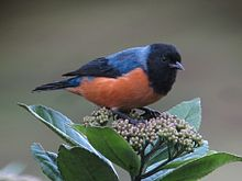 Conirostrum sitticolor - Conirrostro encapuchado - Blue-backed Conebill (8730321476).jpg