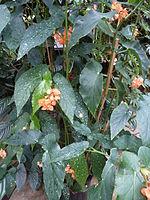 Conservatoire du bégonia 2015. Begonia 'OrubOrCor' 01.JPG