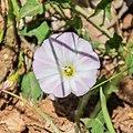 Convolvulus arvensis in Aveyron (1).jpg