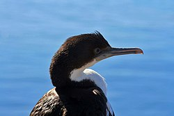 definition of cormorant