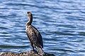 Cormorant (42393004010).jpg