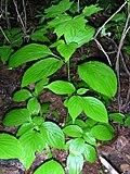 Cornus alternifolia 1-jgreenlee (5097473495).jpg
