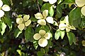 Cornus capitata in Christchurch Botanic Gardens 06.jpg