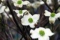 Cornus florida Cherokee Daybreak 0zz.jpg