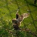 Coruja-buraqueira - Burrowing Owl (Chapada dos Guimarães, Mato Grosso, Brasil). (11124561474).jpg