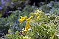 Corydalis lutea 11zz.jpg