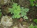 Corydalis ochroleuca Kock (AM AK258832-1).jpg