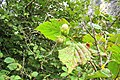 Corylus avellana. Ablanal.jpg