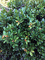 Corynocarpus laevigatus Rarangi NZ.JPG