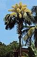 Corypha umbraculifera 8.JPG