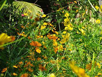 Cosmos (plant) - Image: Cosmos yellow orange