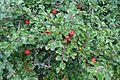 Cotoneaster apiculatus kz2.jpg