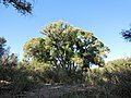 Cottonwood~Buteo plagiatus habitat.jpg