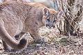 Cougar Turns Around (16874792410).jpg