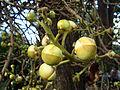 Couroupita guianensis (5).JPG
