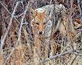 Coyote (32157025632).jpg