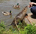 Coypu and ducks being fed.jpg