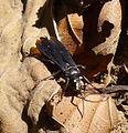 Crabronidae, Tachytes sp . (Liris) - Flickr - gailhampshire (1).jpg