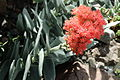 Crassula perfoliata var. falcata-IMG 0689.JPG