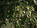 Crateva adansonii (5657334792).jpg