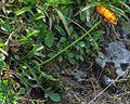 Crepis aurea PID2024-1.jpg