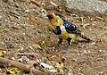 Crested Barbet (Trachyphonus vaillantii) (11857104144).jpg
