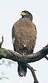 Crested Serpent Eagle (8456873431).jpg