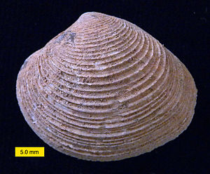 Veneridae - Venerid bivalve; Wadi Umm Ghudran Formation (Late Cretaceous, early Campanian), near Amman, Jordan