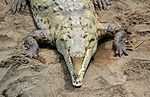 File:Crocodylus acutus 3 CR.JPG