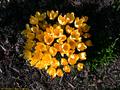 Crocus chrysanthus hybrid E. A. Bowles.png