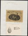 Crotalus durissus - 1700-1880 - Print - Iconographia Zoologica - Special Collections University of Amsterdam - UBA01 IZ11700027.tif
