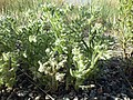 Cryptantha scoparia (7347227074).jpg