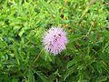 Crystal River mimosa01.jpg