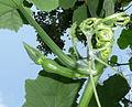 "Cucurbita argyrosperma ""calabaza rayada o cordobesa"" (Florensa) yema floral femenina F09 cáliz verde yema apical decumbente.JPG"