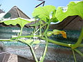 """Cucurbita maxima """"zapallo plomo"""" (Costanzi temp2) flor fruto femenina F04 dia01 pétalos cerrados orientación.JPG"""