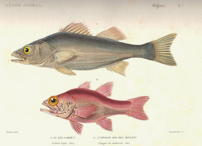 File:Cuvier-7-Bar commun et roi des rougets.jpg