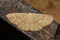 Cyclophora ? dimerites (Geometridae- Sterrhinae- Cosymbiini) (6564954213).jpg
