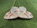 Cyclophora punctaria - Maiden's blush - Кольчатая пяденица точечная (40262859614).jpg