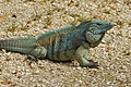 Cyclura lewisi -Grand Cayman, Cayman Islands-8.jpg