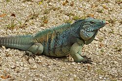 Un iguane bleu