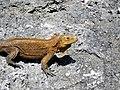 Cyclura rileyi rileyi (San Salvador rock iguana) (Green Cay, offshore from northwestern San Salvador Island, Bahamas) 2 (15421117063).jpg