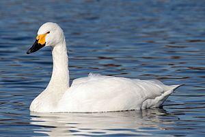 Tundra swan - Adult Bewick's swan, Cygnus columbianus bewickii