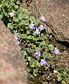 Cymbalaria pallida 02.jpg