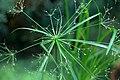 Cyperus textilis 001 GotBot 2015.jpg