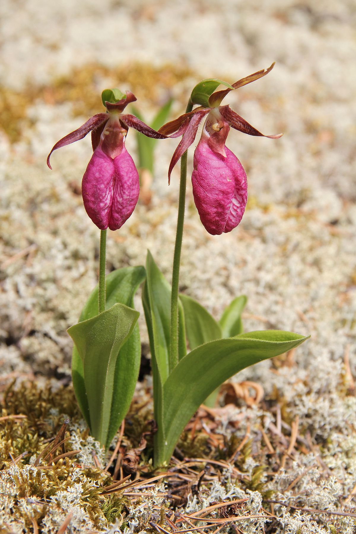 Cypripedium acaule wikipedia mightylinksfo